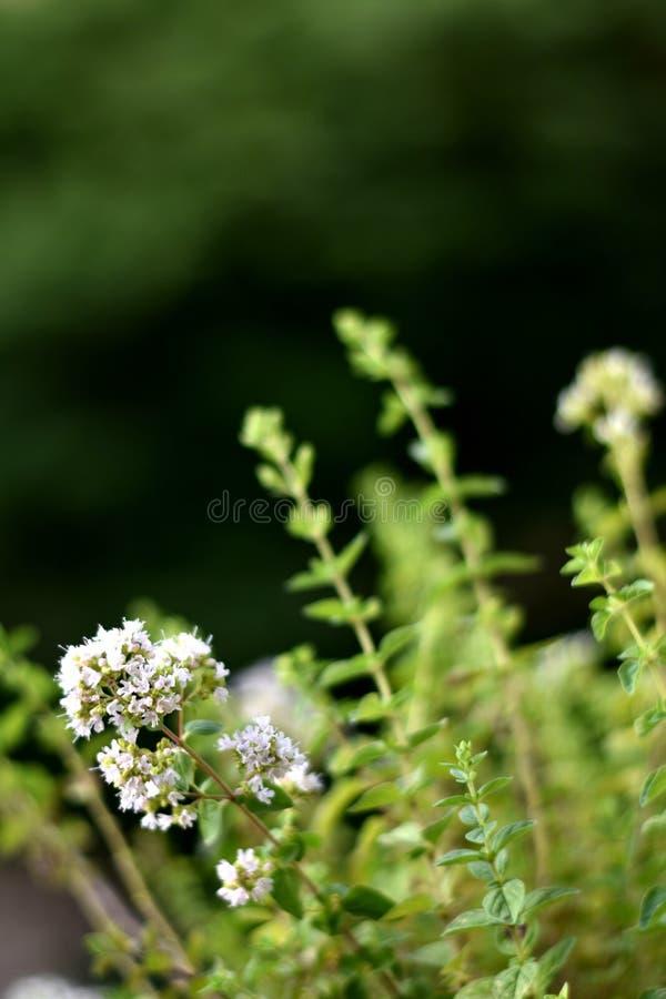 Oregano kwiatonośna roślina na w górę zielonego tła, pionowo obraz royalty free