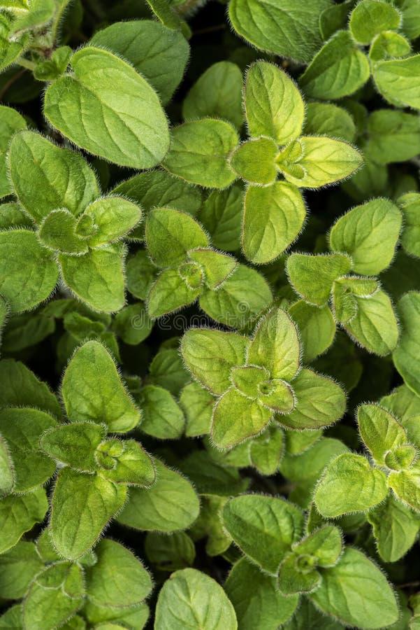 Oregano leaves in spring stock photos