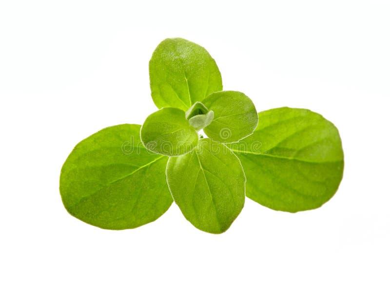 Oregano or marjoram leaf isolated on white background cutout Fresh Marjoram (Origanum majorana) stock photography