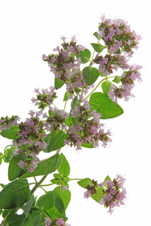Free Oregano (Origanum Vulgare) Stock Photography - 25937192