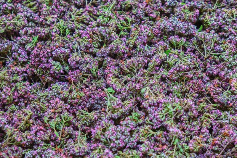 Oregano-Origanum vulgare ist eine blühende Pflanze im Lippenblütler Lamiaceae, benutzt als Bestandteil für Tee und das Kochen Hau lizenzfreie stockfotografie