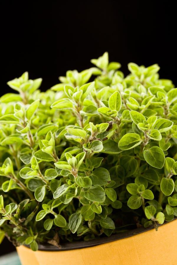 Oregano Plant Royalty Free Stock Photography