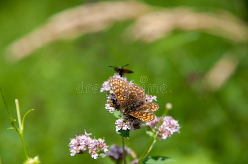 Oregano plant with butterflies and insects royalty free stock images