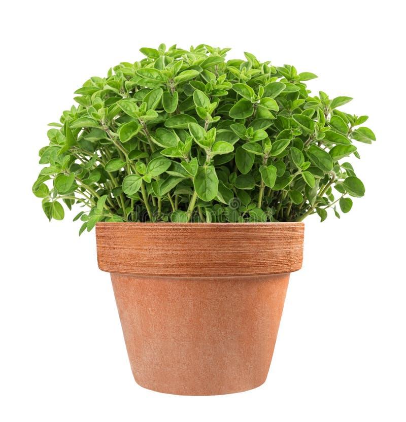 Oregano plants royalty free stock image