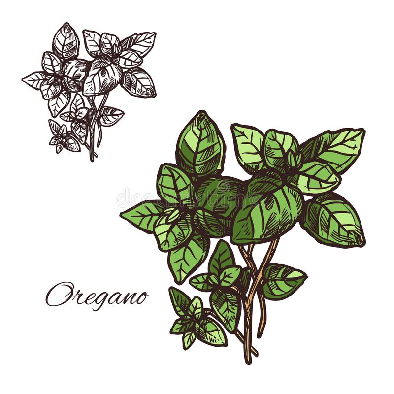 Oregano seasoning vector sketch plant icon. Oregano seasoning spice herb sketch icon. Vector isolated leaf of oregano for culinary cuisine cooking or flavoring stock illustration