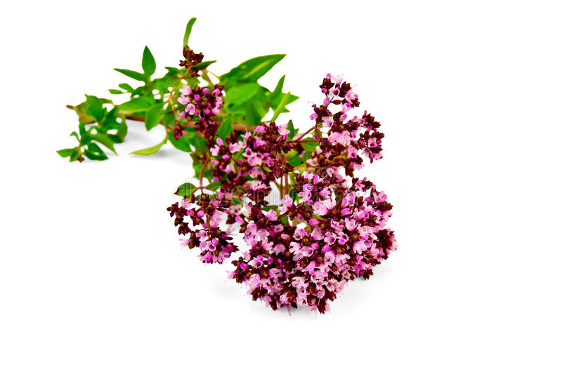 Oregano sprig. With pink flowers and green leaves with a light shade on white background royalty free stock photo
