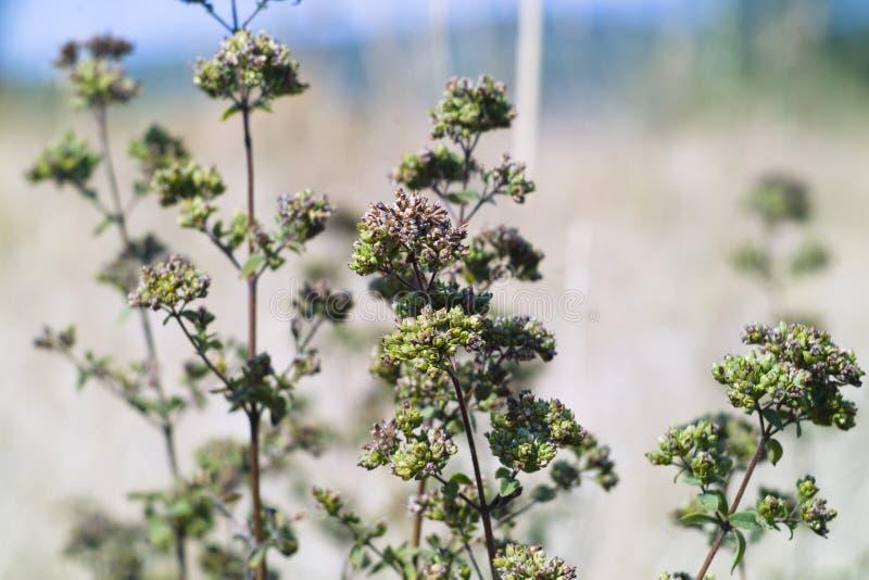 Oregano (vulgare Origanum) стоковая фотография