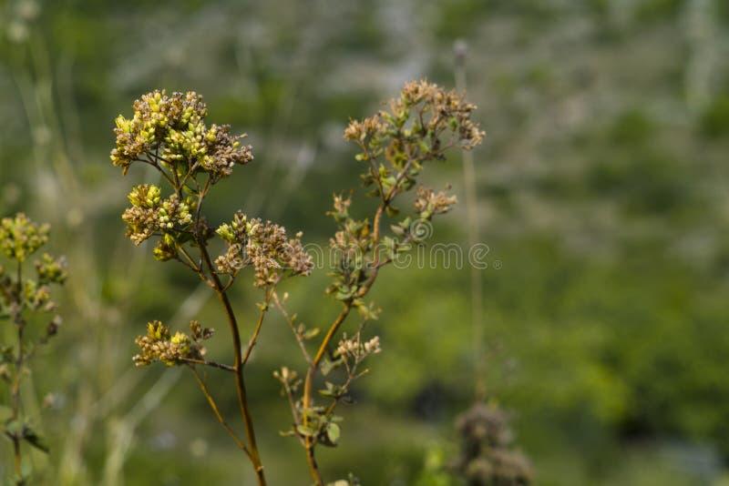 Oregano (vulgare Origanum) стоковые изображения rf