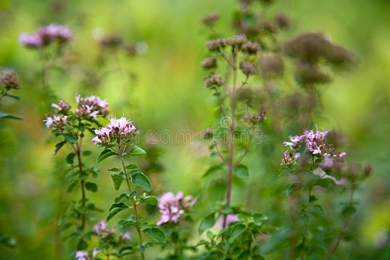 Orego/Echte Dost (Wilde marjolein vulgare) stock fotografie