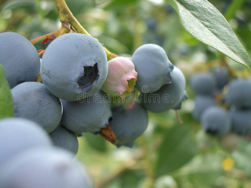 Oregon-Blau-Beeren Stockbilder