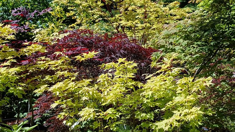 Beautiful display of multi color maple trees stock photography