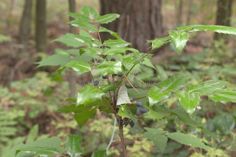 Oregon-druva mogna ovala bär överst av en låg buske med spetsigt royaltyfria bilder