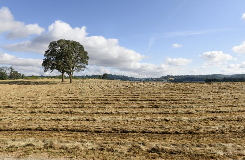 Oregon Grown Ryegrass Harvest in the Mid-Willamette Valley, Marion County. Oregon Grown Ryegrass Harvest in the Mid-Willamette Valley royalty free stock photos