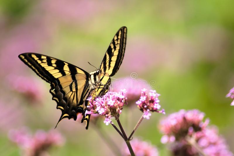 Oregon Swallowtail Butterfly in Summer 1. Summer in our brother and sister`s garden there are many beautiful things. This is one. Enjoy stock photography