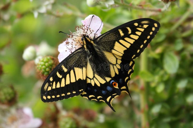 Oregon Swallowtail fjärilsPapilio oregonius arkivfoton
