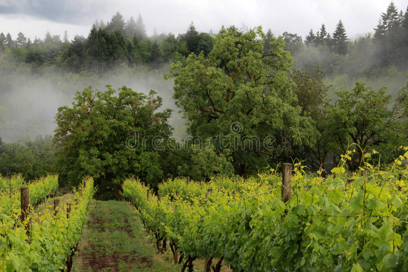Oregon-Weinberg im Frühjahr stockfotos
