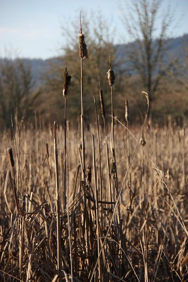 Oregon Wetlands Autumn Cat Tails stock photos