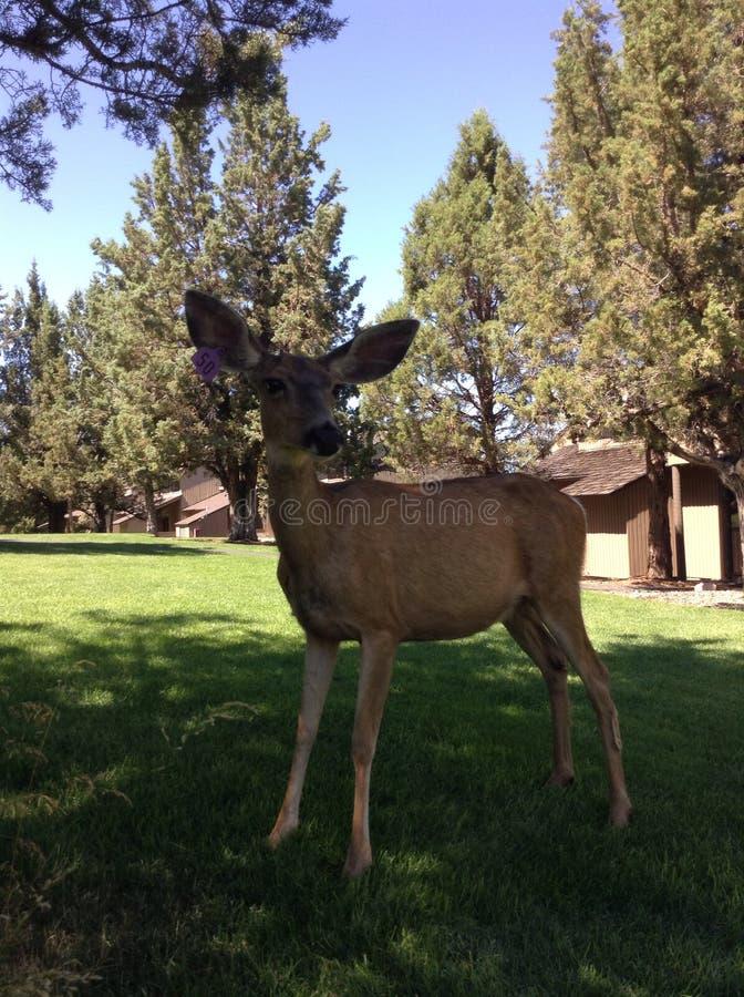 Oregonian hjortar royaltyfri foto