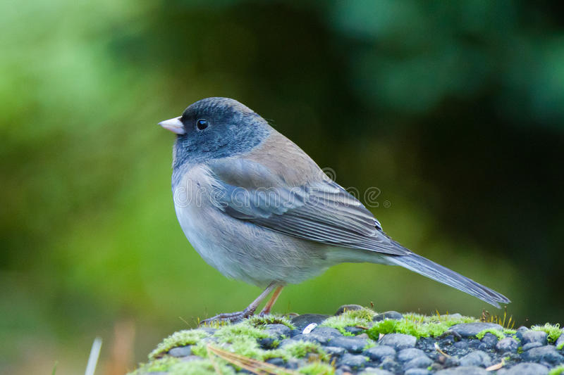 OregonJunco
