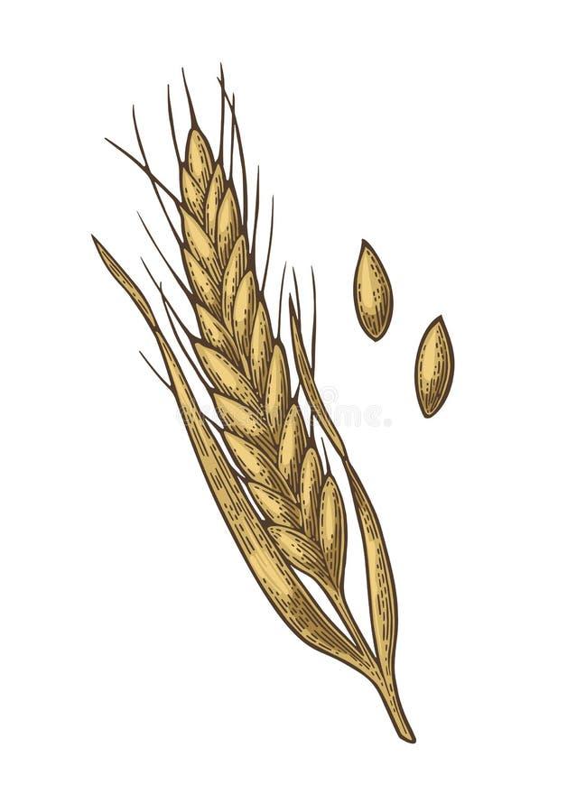 Oreille de blé, d'orge et de malt de grain Illustration gravée par vintage de vecteur illustration libre de droits