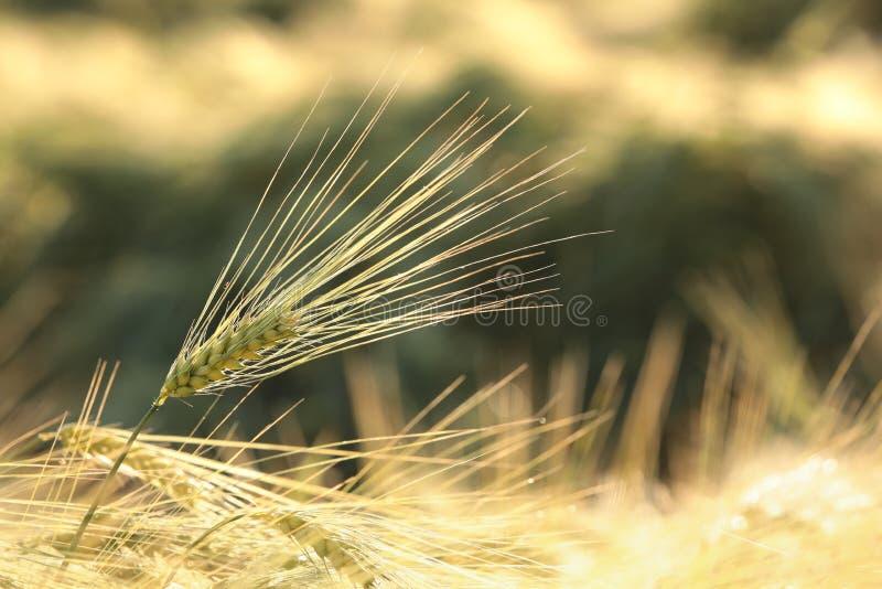 Oreille de blé dans le domaine à l'aube images stock