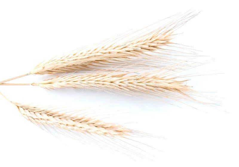 Oreille de blé ou d'orge photographie stock libre de droits