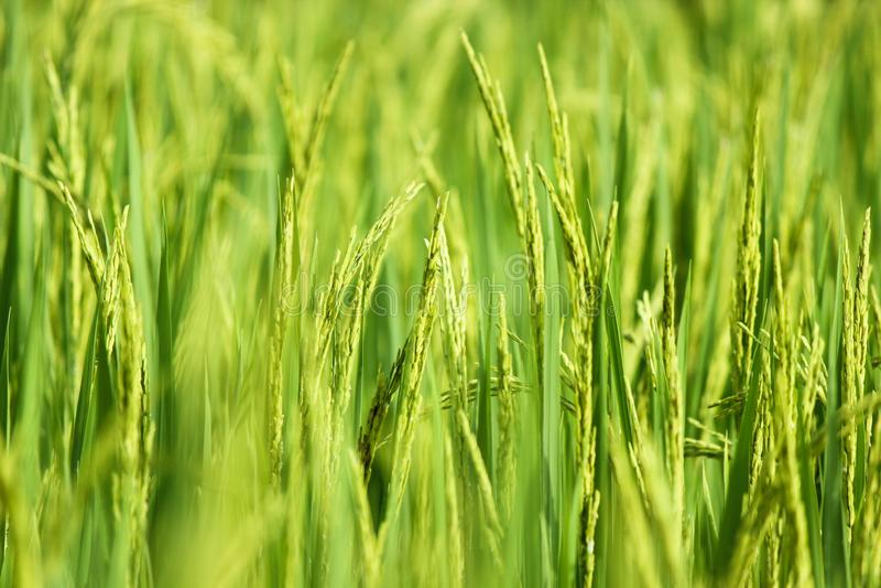 Oreille de riz avec le centre mou de la rizière verte dans le backgrou photographie stock