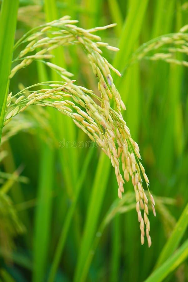 Oreille de riz dans la ferme de paddy images libres de droits
