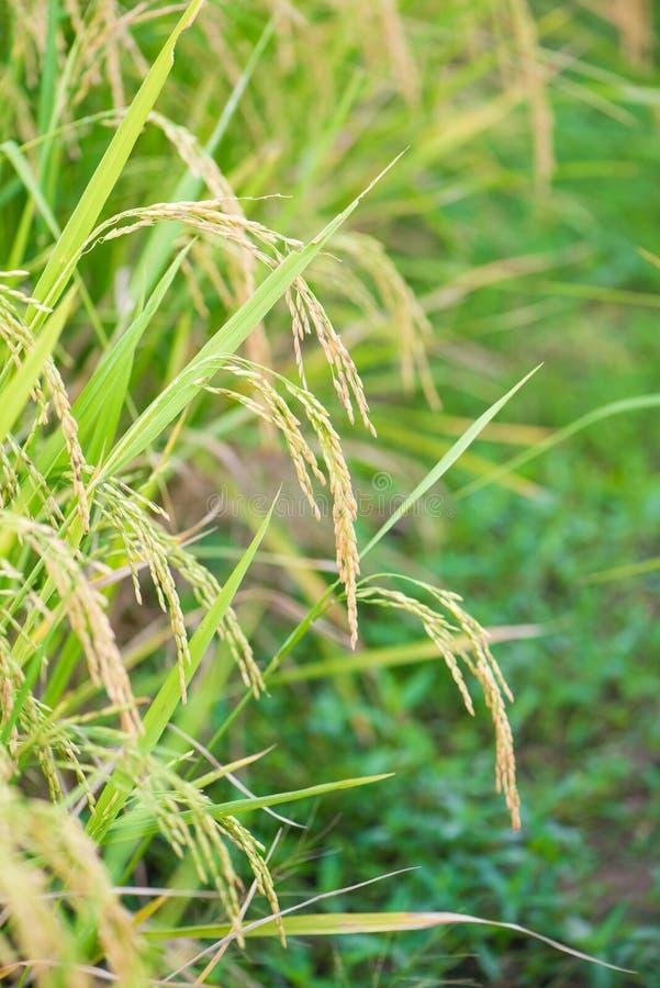 Oreille de riz dans la ferme de paddy photographie stock libre de droits
