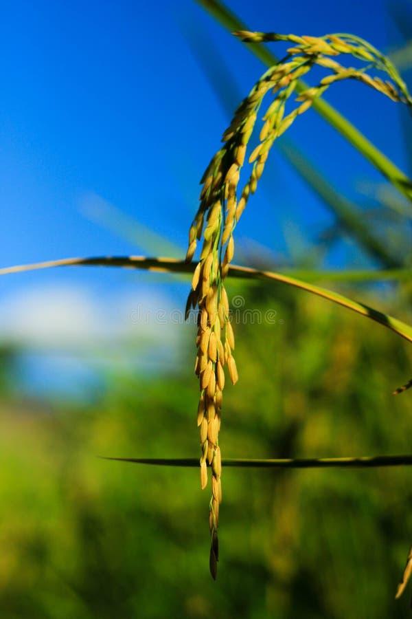 Oreille de riz pendant l'après-midi photo stock