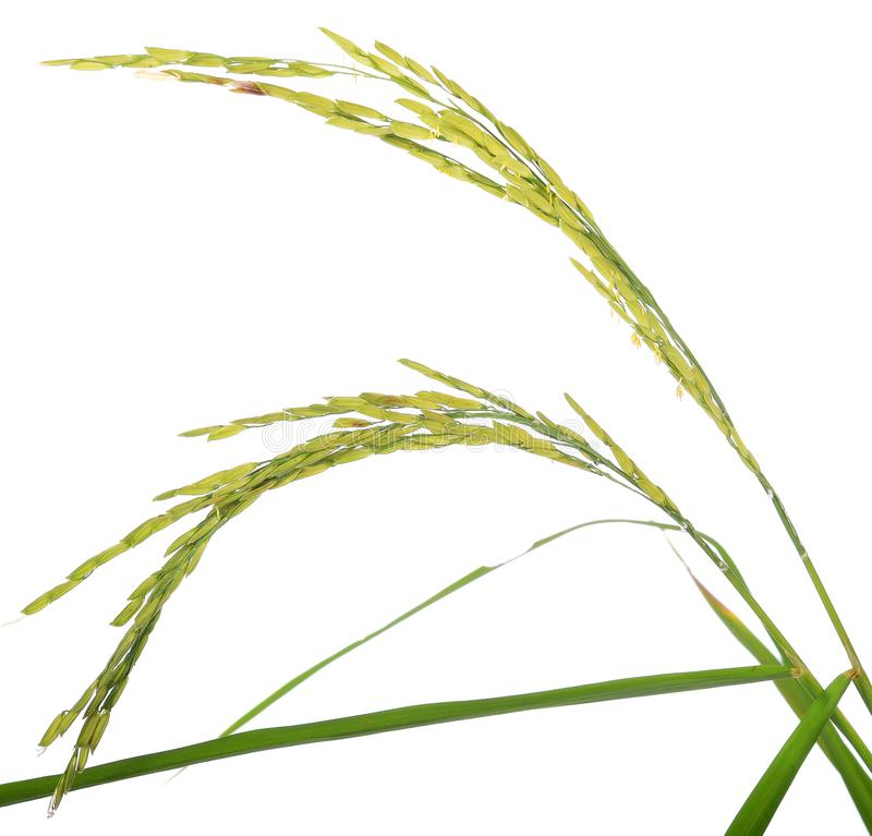 Oreille du paddy, oreilles du riz thaïlandais de jasmin d'isolement sur le backgr blanc photos libres de droits