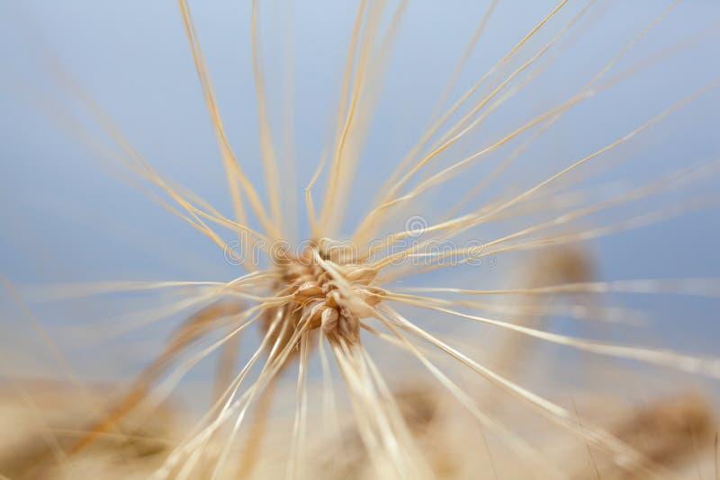Oreille mûre de blé dans le domaine de blé photographie stock