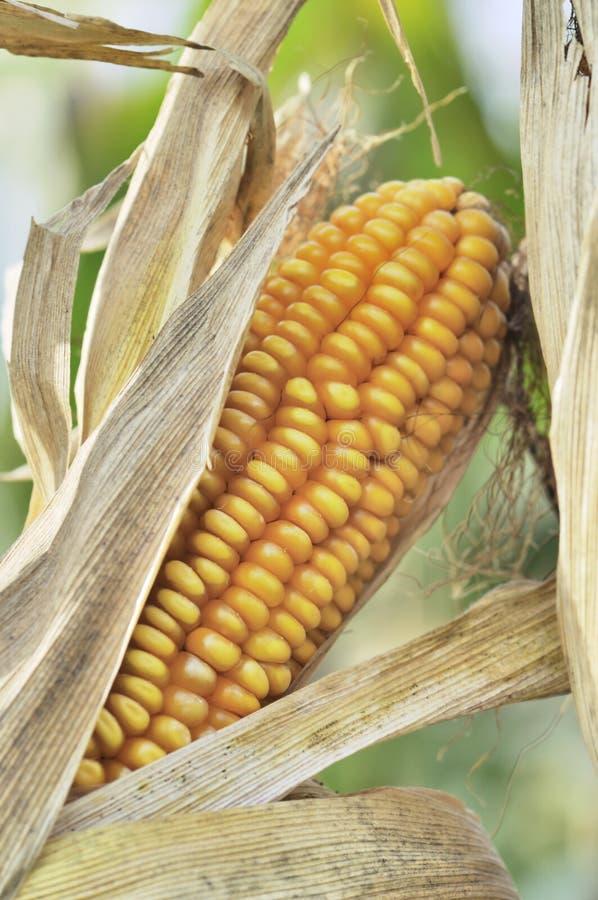 Oreille mûre de maïs dans un domaine image libre de droits