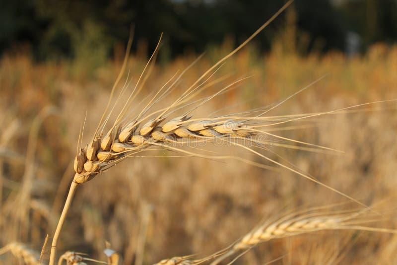 Oreille mûre de blé photos libres de droits