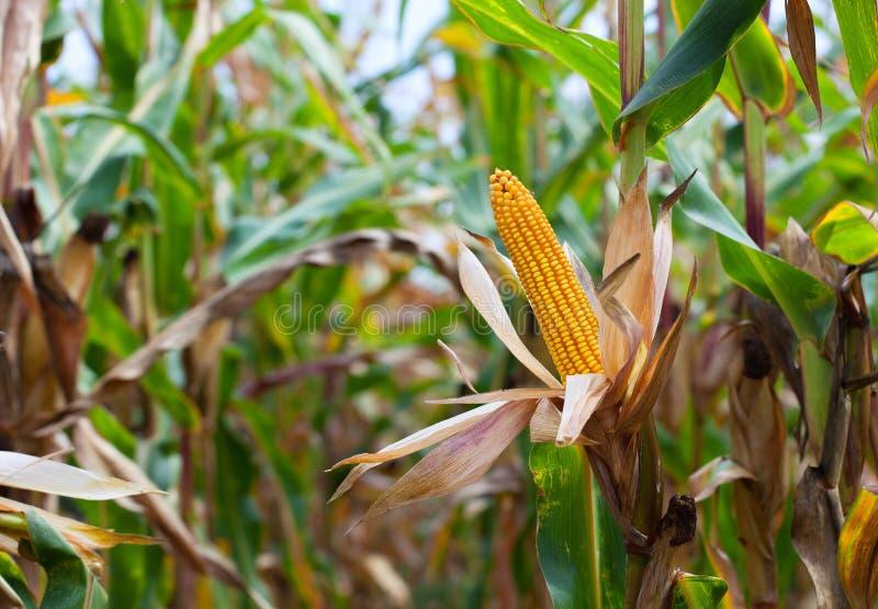 Oreille mûre et jaune de maïs sur le champ photos stock