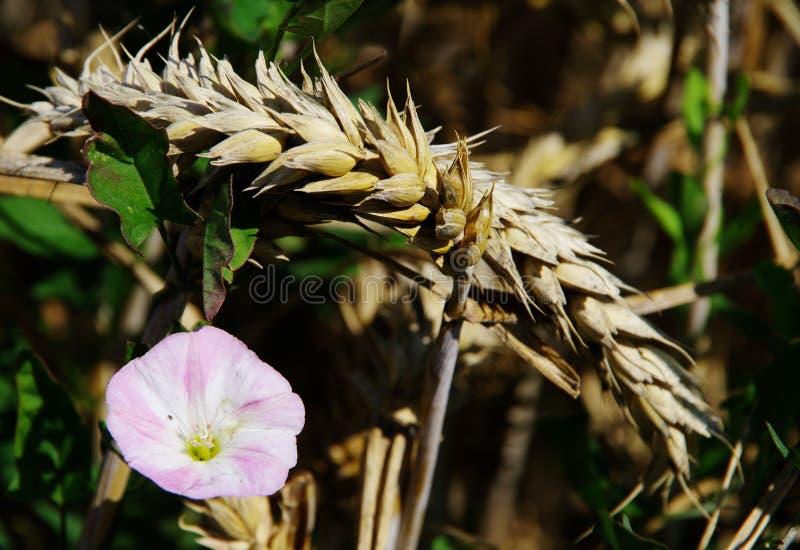 Oreille simple de blé avec l'arbuste fleurissant photos stock