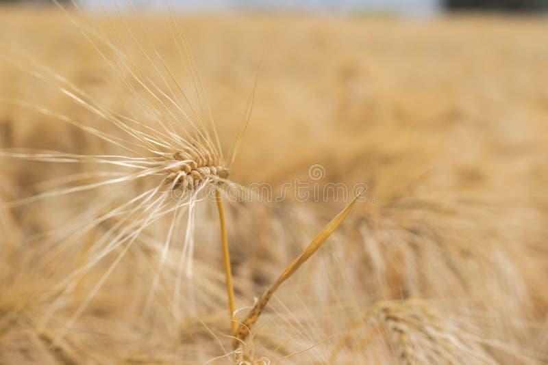 Oreille simple de fin d'or de blé  photo libre de droits