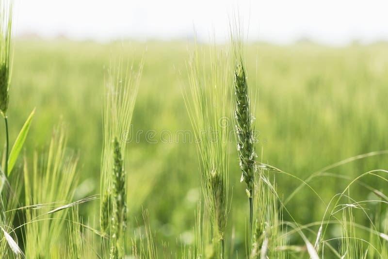 Oreille simple du plan rapproché de blé des champs du blé verts de floraison photographie stock