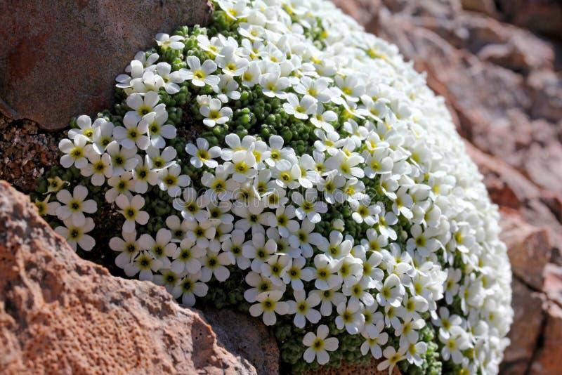 Oreiller de petites fleurs blanches (androsace helvetica) image stock