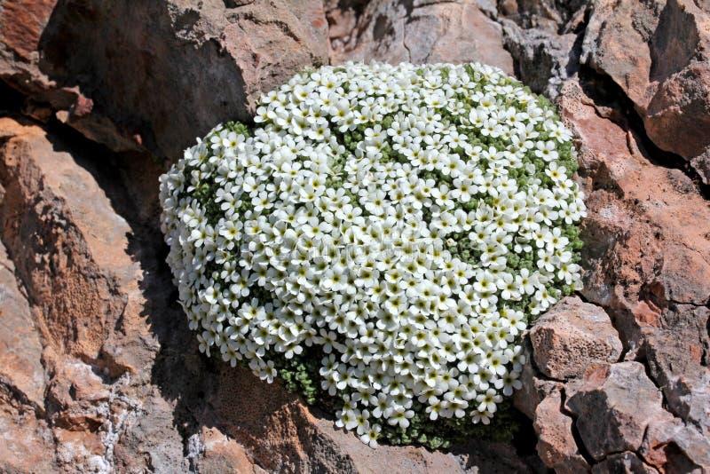 Oreiller de petites fleurs blanches (androsace helvetica) photographie stock