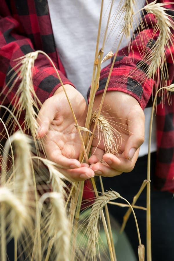 Oreilles d'or de blé dans des mains de jeunes exploitants agricoles photos libres de droits