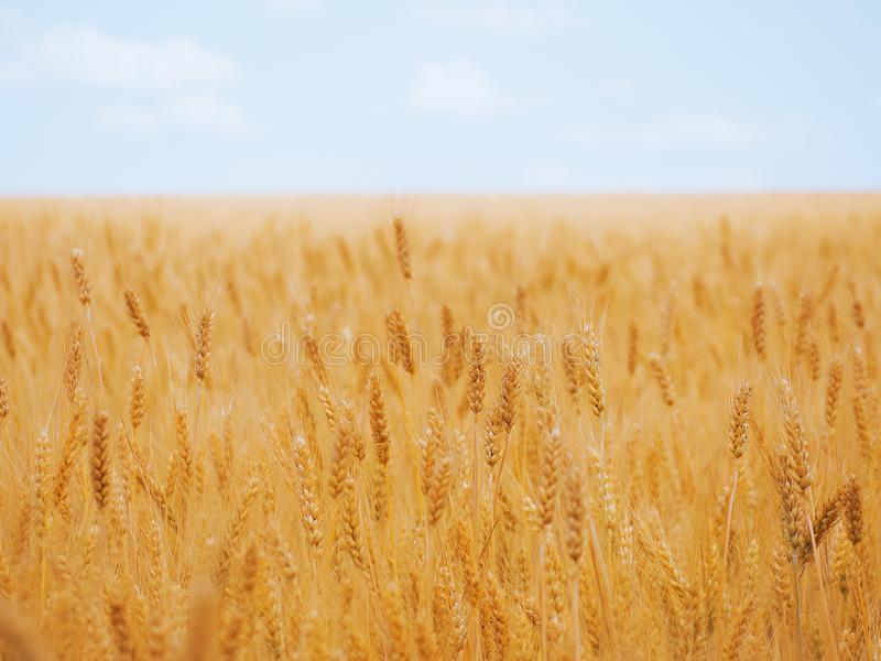 Oreilles de blé au champ de blé jaune sous le ciel bleu photo stock