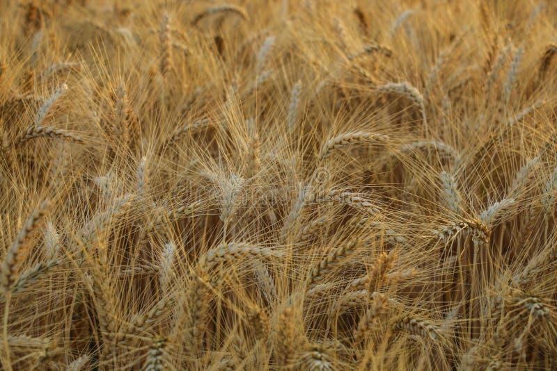 Oreilles de blé au soleil photos stock