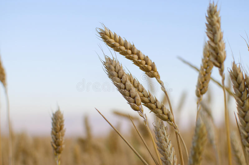 Oreilles de blé dans le domaine Contexte des oreilles de maturation du champ de blé jaune sur le fond orange nuageux de ciel de c photos libres de droits