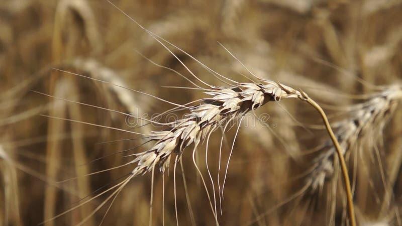 Oreilles de blé en gros plan banque de vidéos