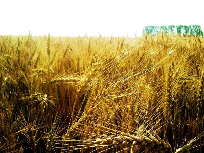 oreilles de blé en gros plan contre un champ de blé image libre de droits