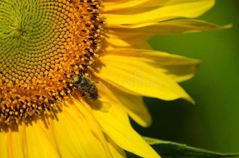 Oreilles de blé mûr dans le domaine photographie stock