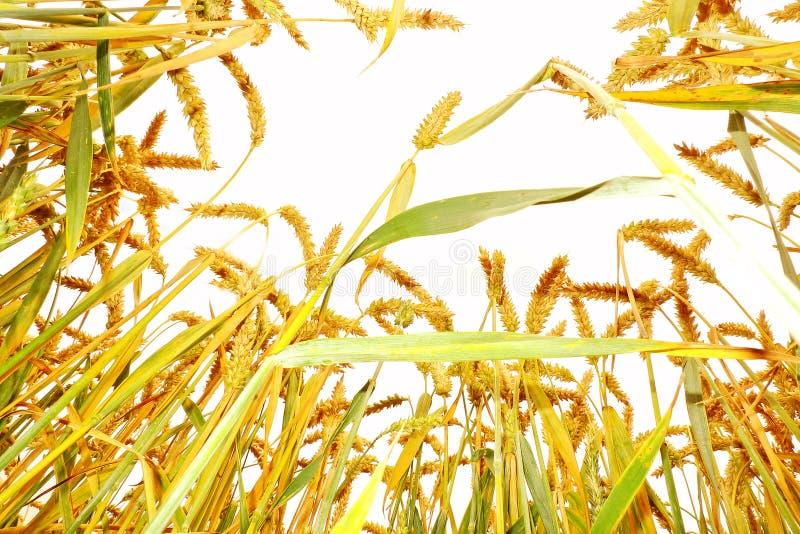 Oreilles de blé sur la zone photographie stock libre de droits