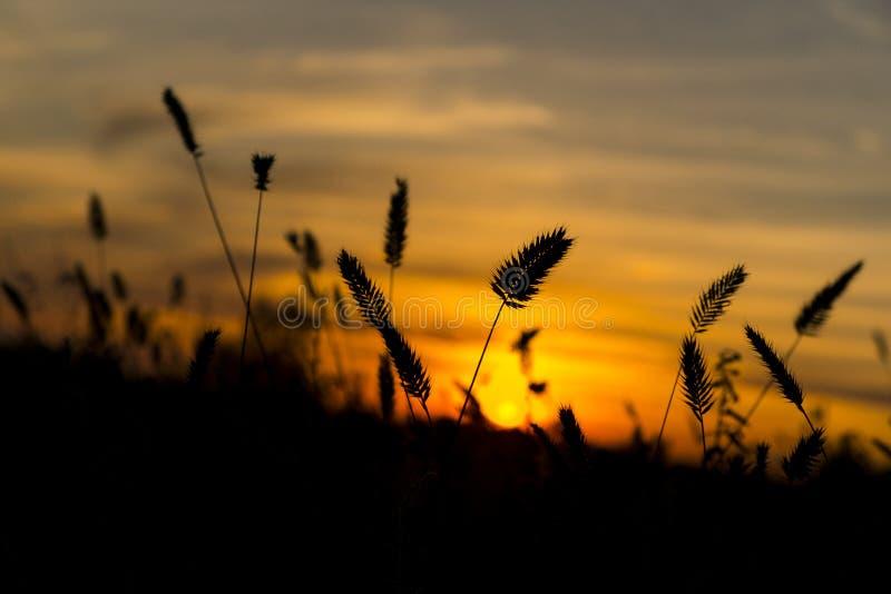 Oreilles de blé sur le coucher du soleil photographie stock libre de droits