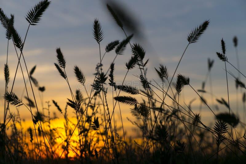 Oreilles de blé sur le coucher du soleil photos stock